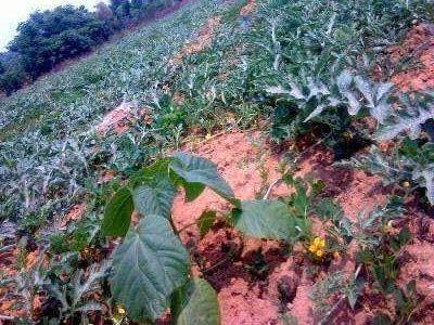 2015年4月19日绿桐树和西瓜套种的生长状况