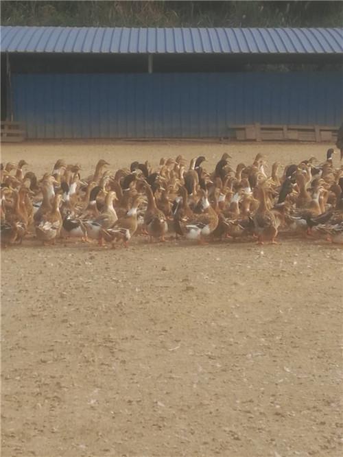 杂交鸭饲养