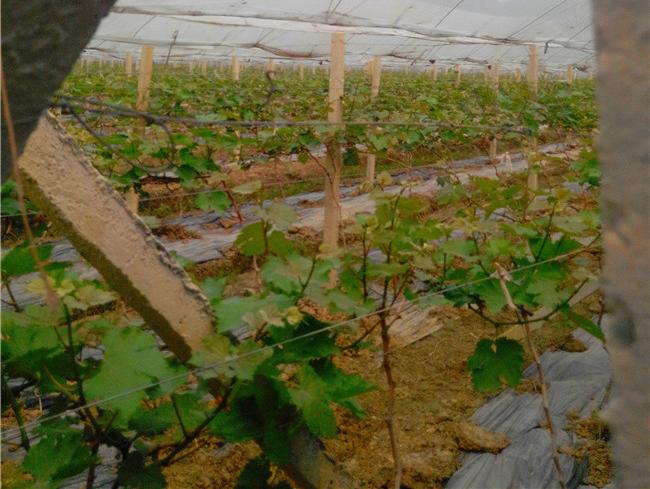 葡萄水泥柱