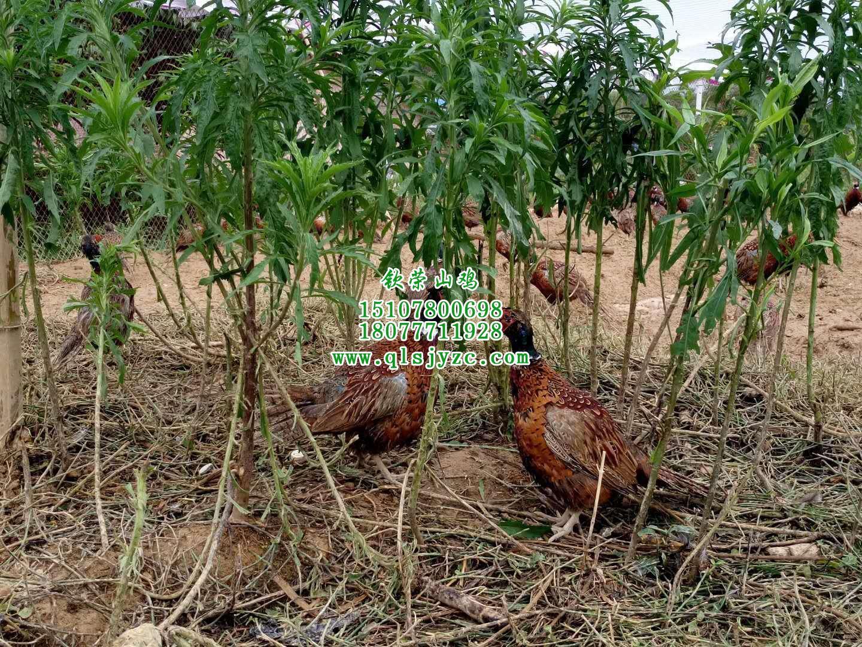 广西七彩山鸡出售