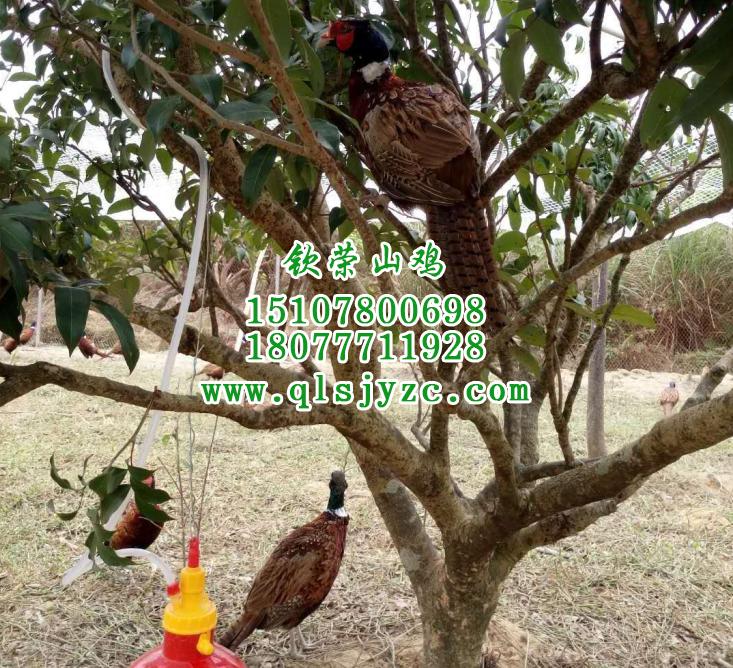 钦州山鸡供应