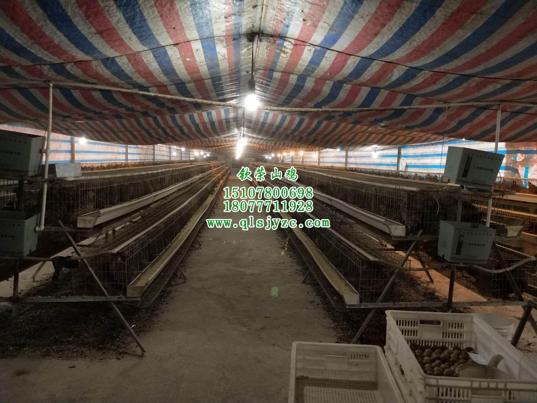 云南山鸡养殖技术