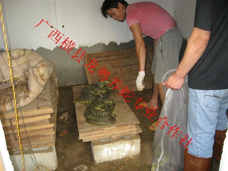 广西出售大王商品蛇
