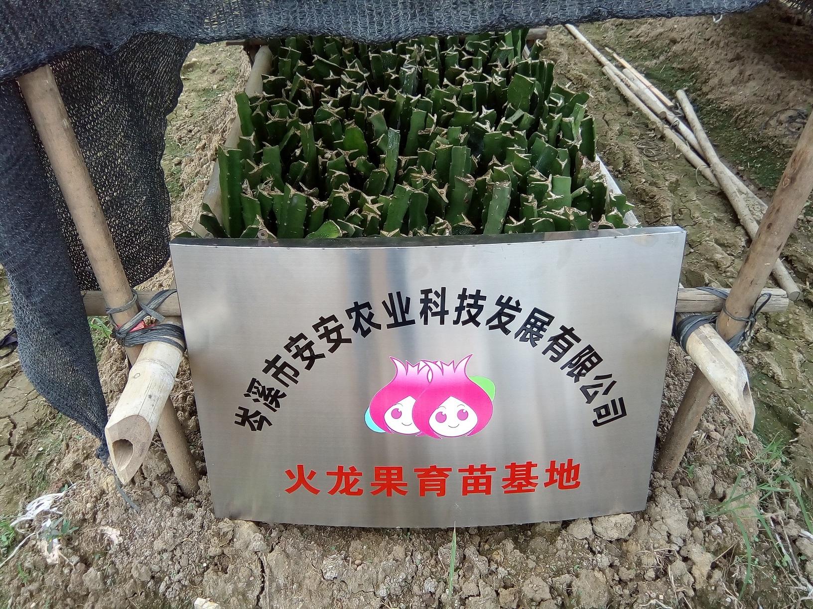 红肉火龙果育苗基地