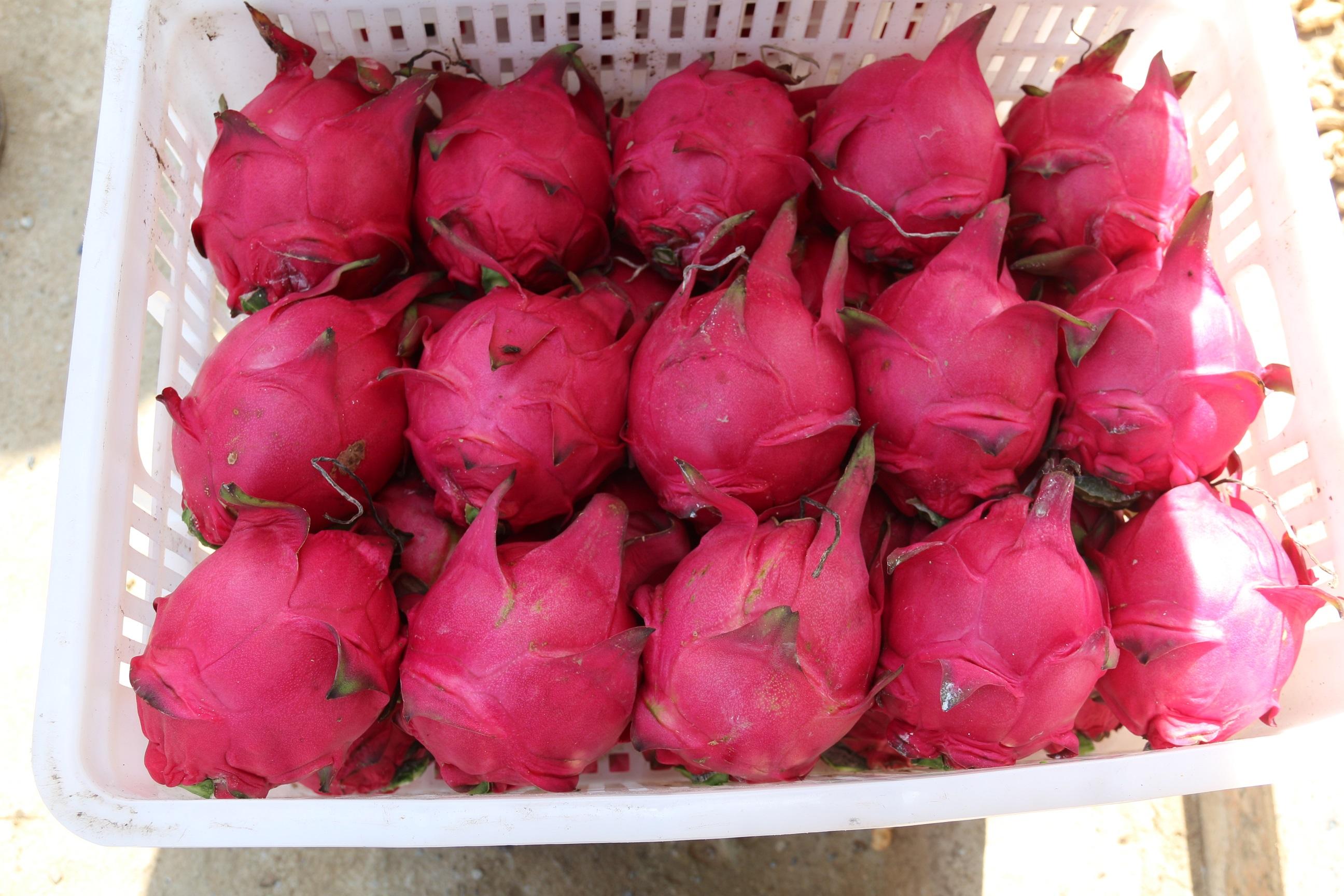 红皮红肉火龙果