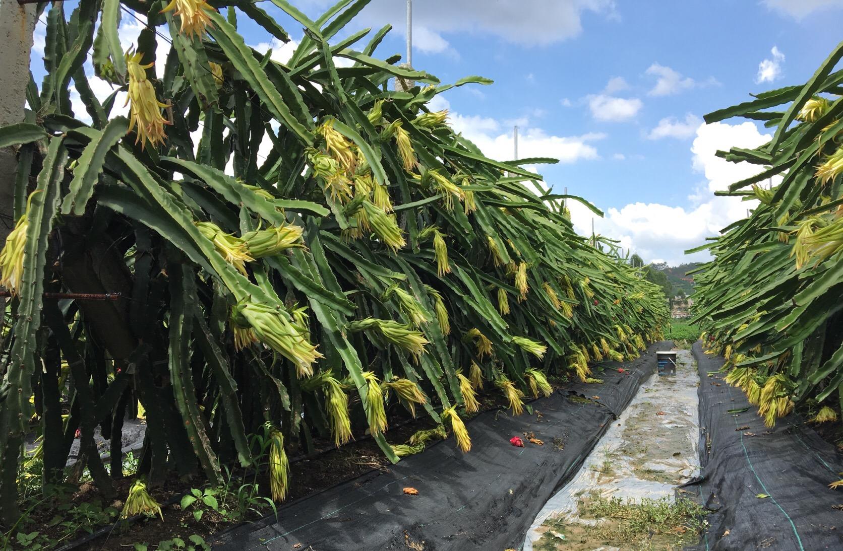 四季红火龙果-三层高产密植