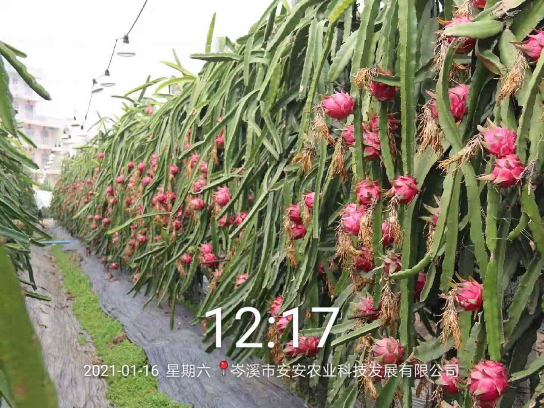 心红火龙果-三层高产密植