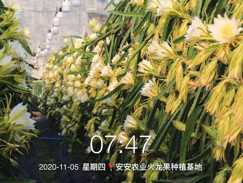 供应:火龙果种苗、花蕾、鲜花、干花