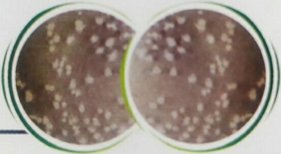饲用地衣芽孢杆菌