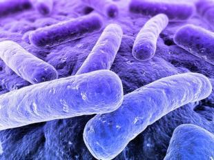 粪肠球菌(乳酸链球菌)