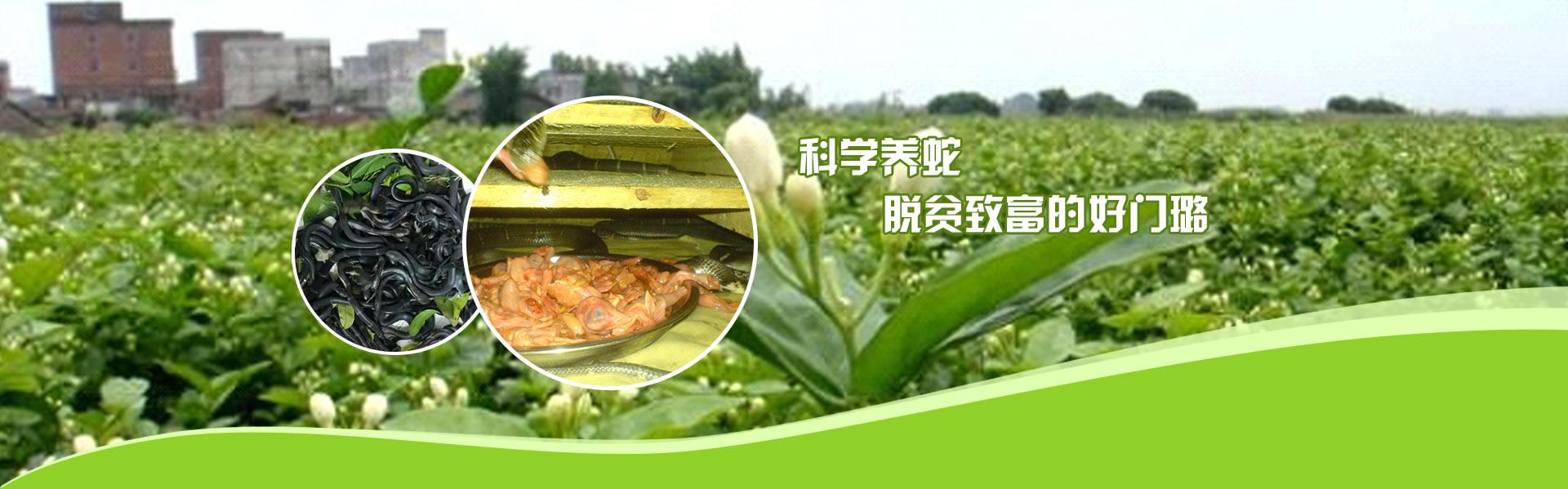 广西养蛇技术培训,广东蛇蛋供应,福建蛇苗供应