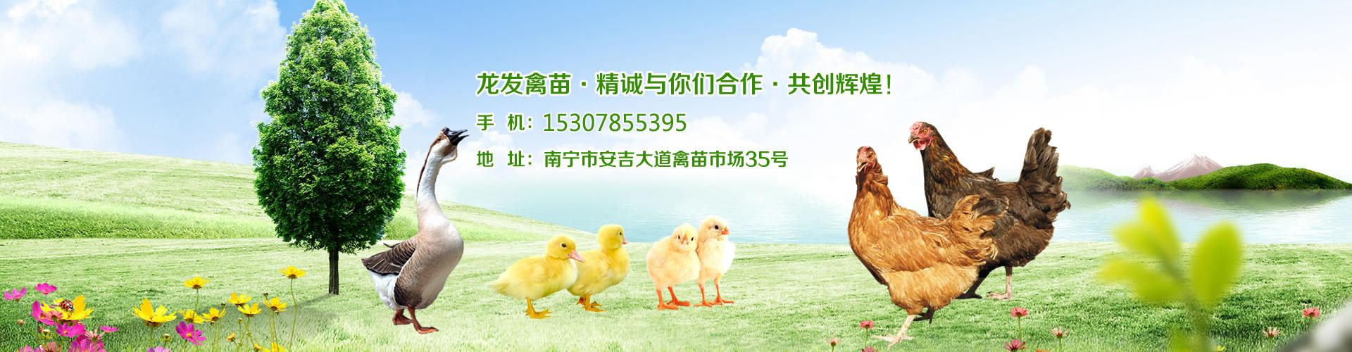 广西鸡苗销售|广西鸭苗销售